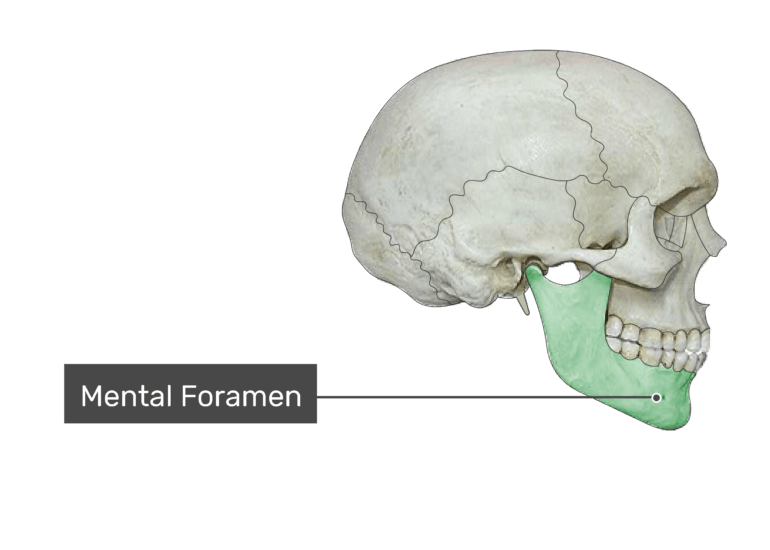 The mental foramen of the mandible bone
