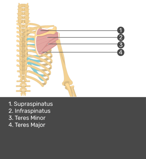 Test yourself image of posterior view of back and right arm. Muscles labelled: supraspinatus, infraspinatus, teres minor, teres major.