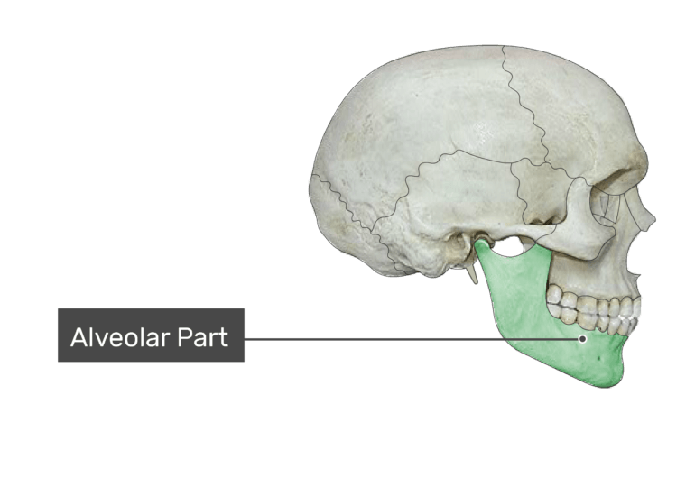 The alveolar part of the mandible