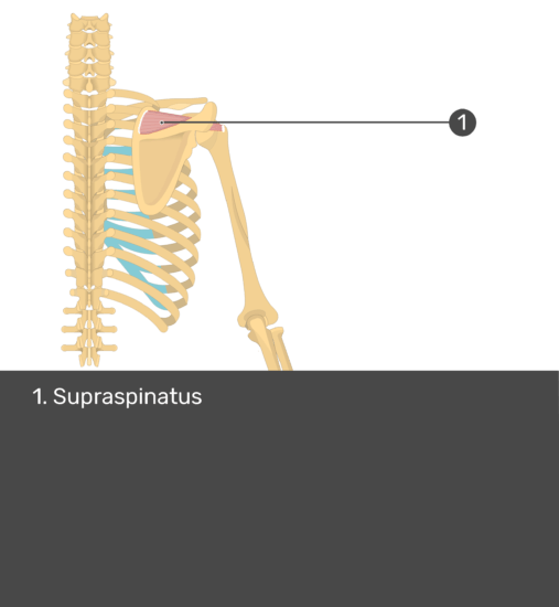 Test yourself image of posterior view of back and right arm. Muscles labelled: supraspinatus.