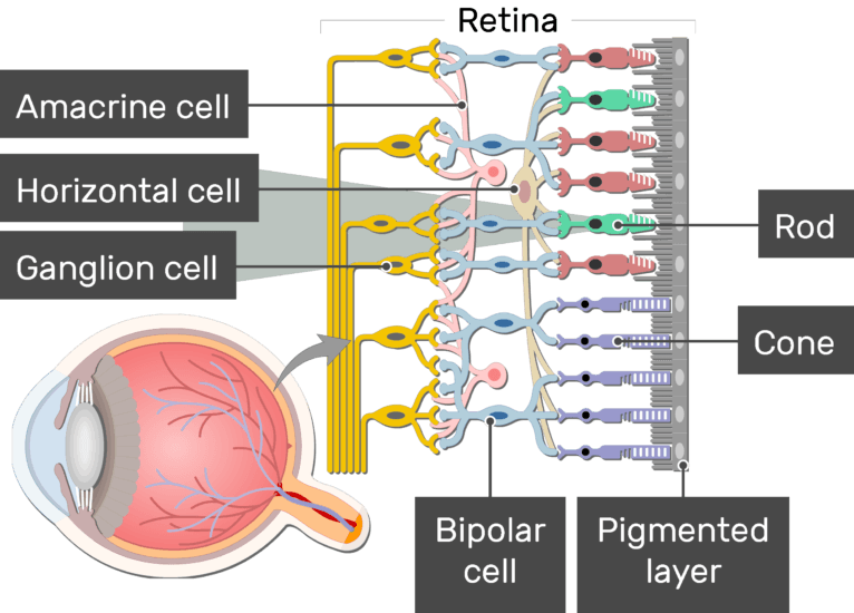 An image showing the parts of the retina and the visual pathway, the Amacrine cell, Horizontal cell, Ganglion cell, Bipolar cell, Cone, Rod, and Pigmented layer are labeled