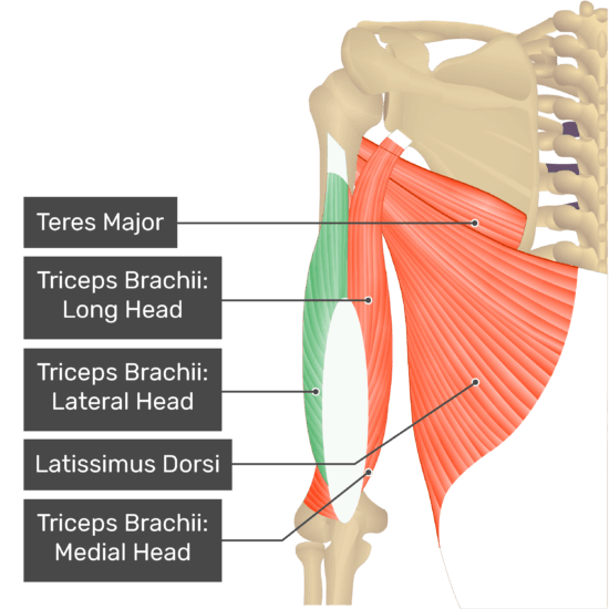 A posterior view of the upper arm and shoulder showing the bony elements and the deeper muscles. The visible, labelled muscles are as follows: Teres Major, Triceps Brachii: Long Head, Triceps Brachii: Lateral Head (highlighted in green), Latissimus Dorsi, Triceps Brachii: Medial Head.