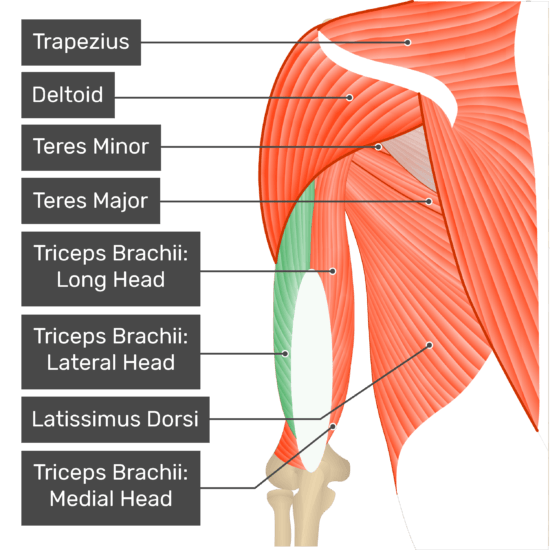 A posterior view of the upper arm and shoulder showing the bony elements and the associated muscles. The visible, labelled muscles are as follows: Trapezius, Deltoid, Teres Minor, Teres Major, Triceps Brachii: Long Head, Triceps Brachii: Lateral Head (highlighted in green), Latissimus Dorsi, Triceps Brachii: Medial Head.