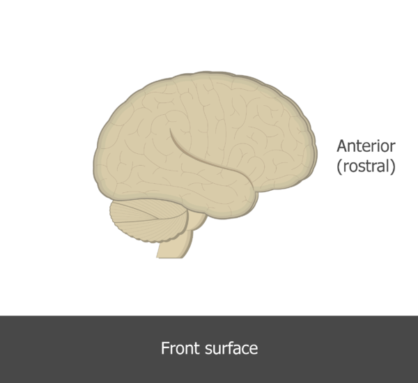An image showing the anterior direction of the brain (lateral view)