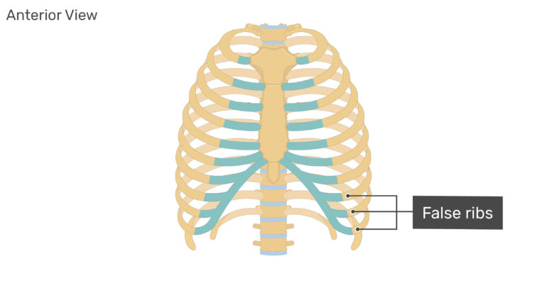Anterior view of the false ribs of the rib cage