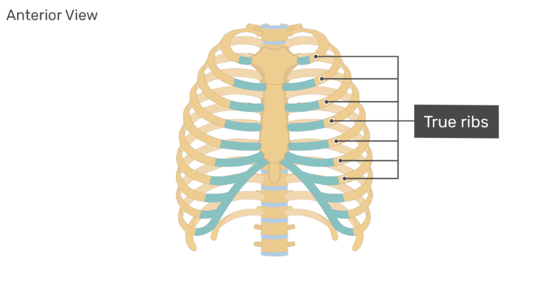 Anterior view of the true ribs of the rib cage