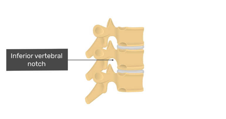 Articulated view of the inferior vertebral notch of the thoracic vertebrae
