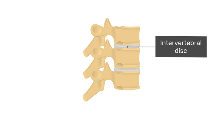 Articulated view of the intervertebral disc of the thoracic vertebrae