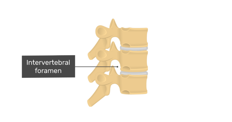 Articulated view of the intervertebral foramen of the thoracic vertebrae