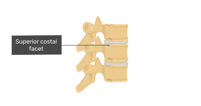 Articulated view of the superior costal facet of the thoracic vertebrae