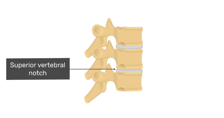 Articulated view of the superior vertebral notch of the thoracic vertebrae