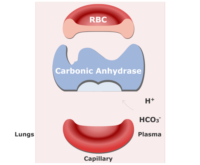 Bicarbonate ions enter the RBCs and are converted back into CO2 animation slide 1