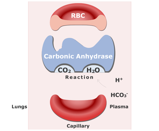 Bicarbonate ions enter the RBCs and are converted back into CO2 animation slide 11