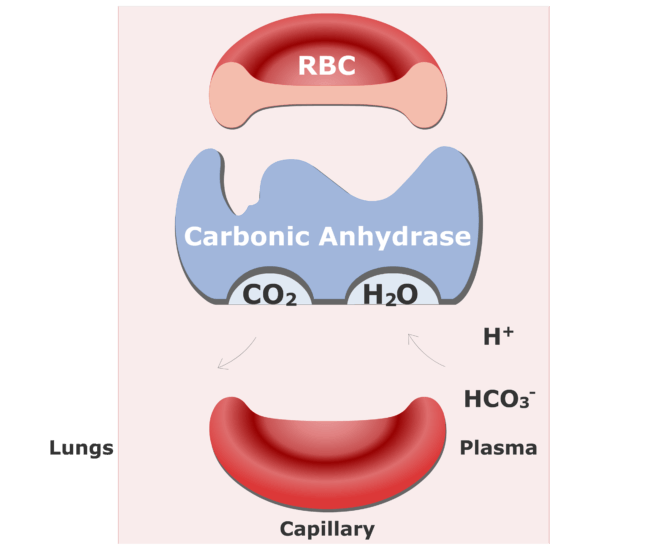 Bicarbonate ions enter the RBCs and are converted back into CO2 animation slide 12