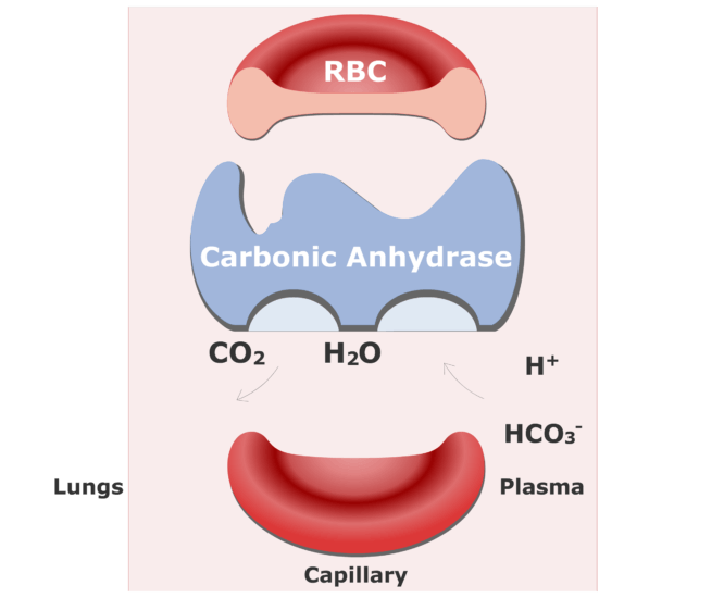 Bicarbonate ions enter the RBCs and are converted back into CO2 animation slide 13