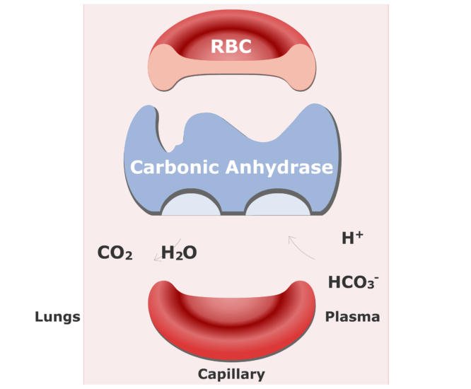 Bicarbonate ions enter the RBCs and are converted back into CO2 animation slide 14
