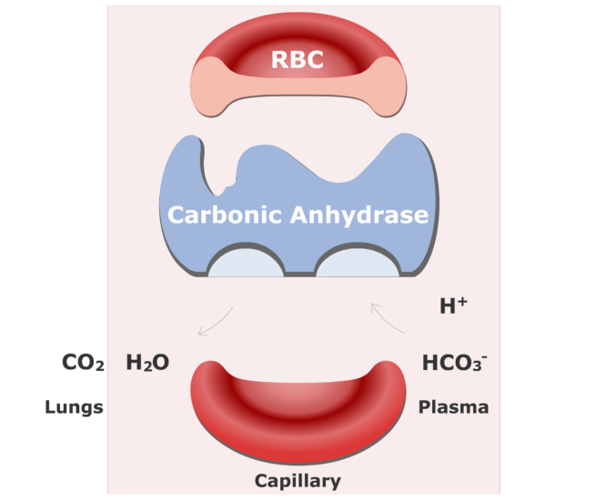 Bicarbonate ions enter the RBCs and are converted back into CO2 animation slide 16
