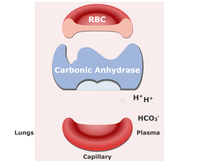 Bicarbonate ions enter the RBCs and are converted back into CO2 animation slide 2
