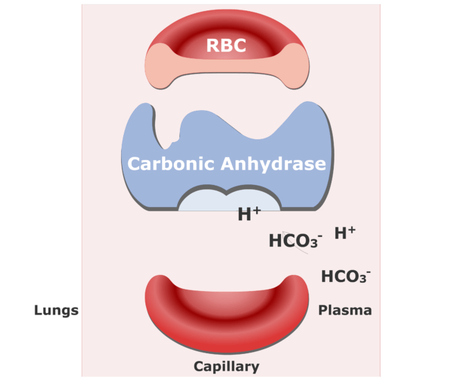 Bicarbonate ions enter the RBCs and are converted back into CO2 animation slide 4