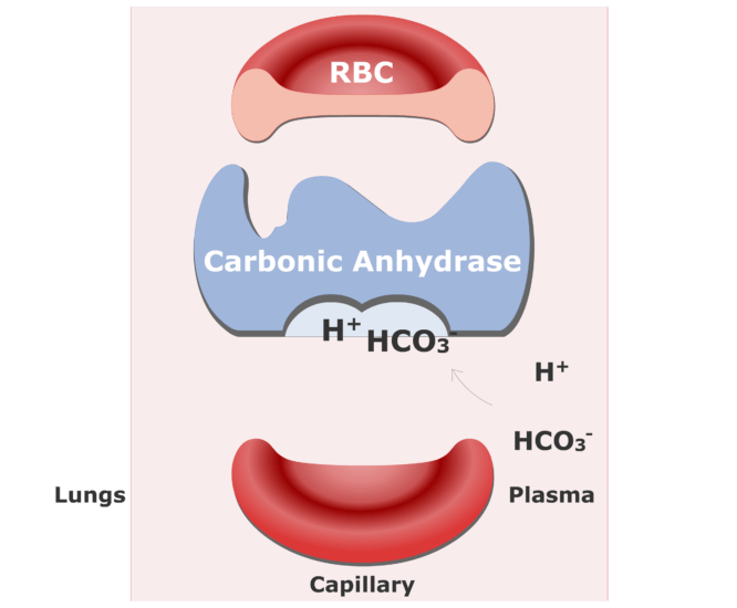 Bicarbonate ions enter the RBCs and are converted back into CO2 animation slide 5