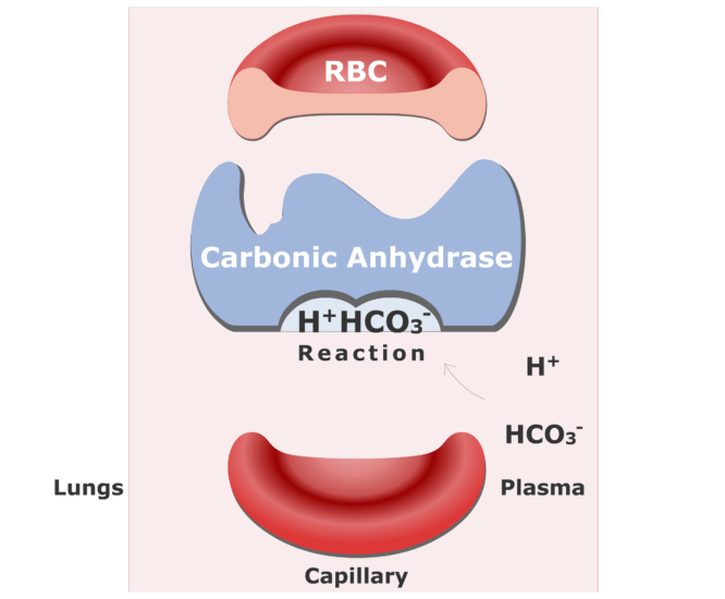 Bicarbonate ions enter the RBCs and are converted back into CO2 animation slide 6