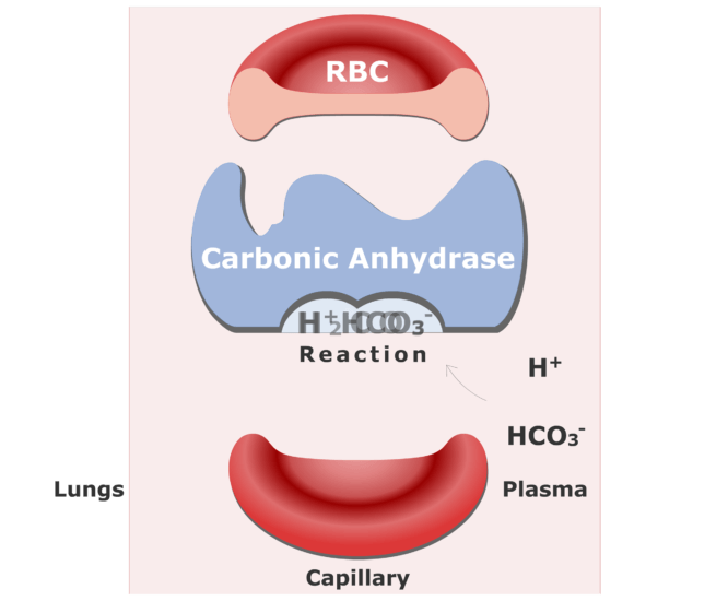 Bicarbonate ions enter the RBCs and are converted back into CO2 animation slide 7