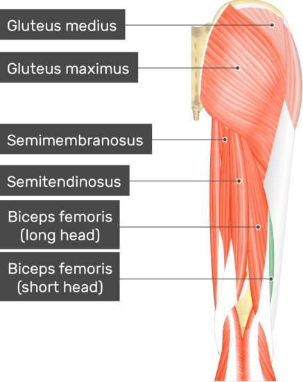 An image showing the Short Head of Biceps Femoris Muscle (highlighted) attached to the lower limb with other muscles (Gluteus medius, Gluteus maximus, Semimembranosus, Semitendinosus and long head of Biceps femoris)