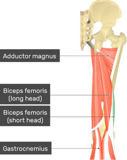 An image showing the Short Head of Biceps Femoris Muscle (highlighted) attached to the lower limb with other muscles (Adductor magnus, long head of Biceps femoris and gastrocnemius)
