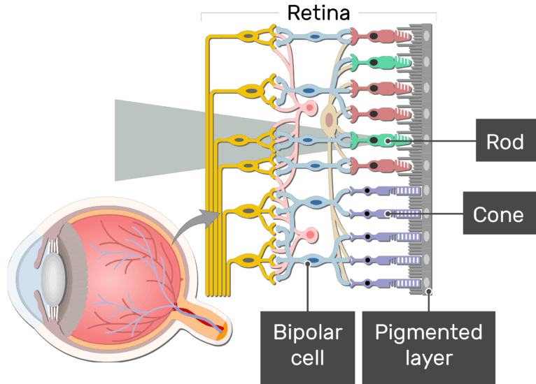 An image showing the parts of the retina and the visual pathway, the Bipolar cell, Cone, Rod, and Pigmented layer are labeled