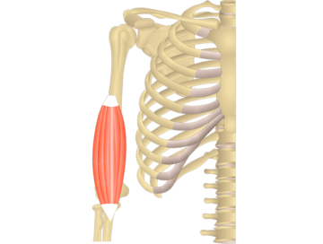 Brachialis Muscle - Featured