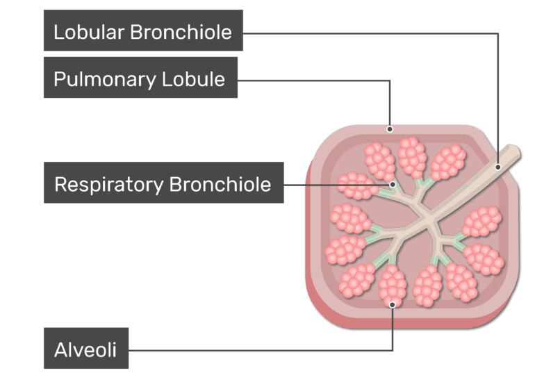 The respiratory bronchioles are labeled and highlighted