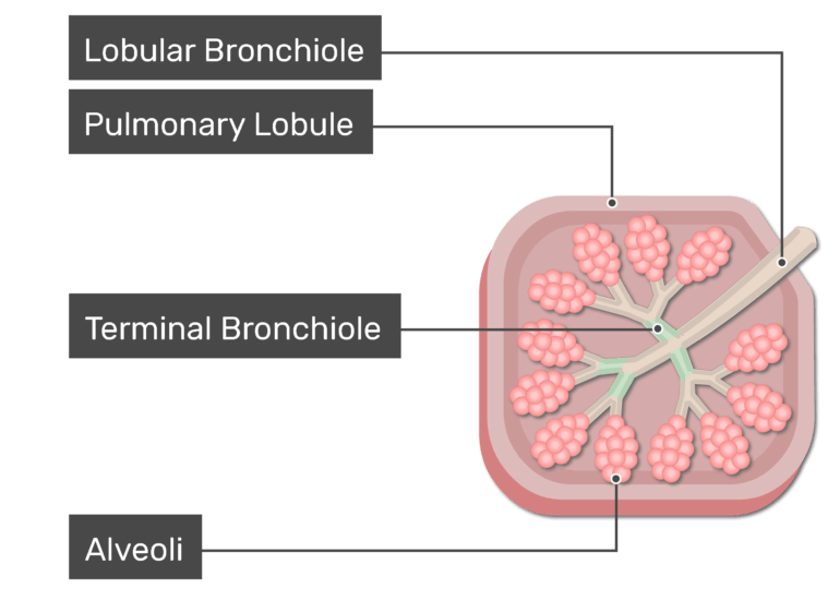 The terminal bronchioles are labeled and highlighted