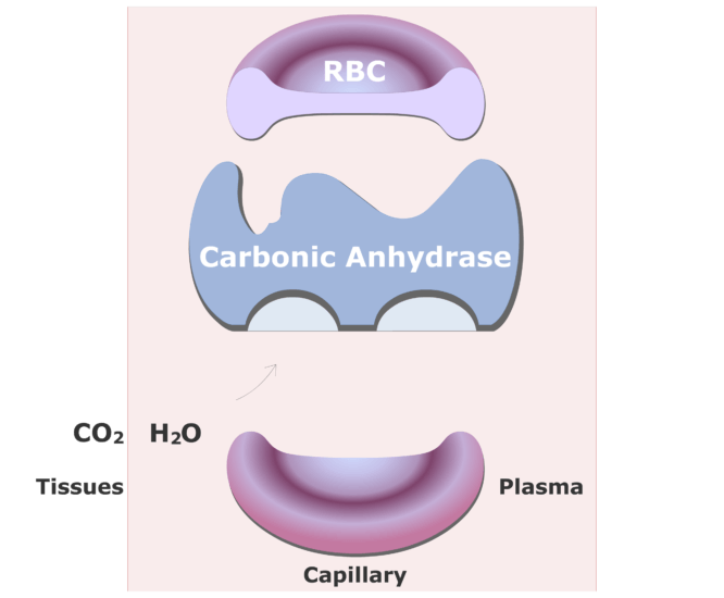 Carbonic anhydrase catalyzing a reaction converting CO2 into HCO3- animation slide 1
