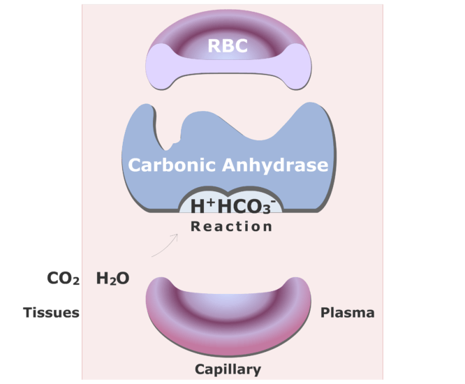 Carbonic anhydrase catalyzing a reaction converting CO2 into HCO3- animation slide 10