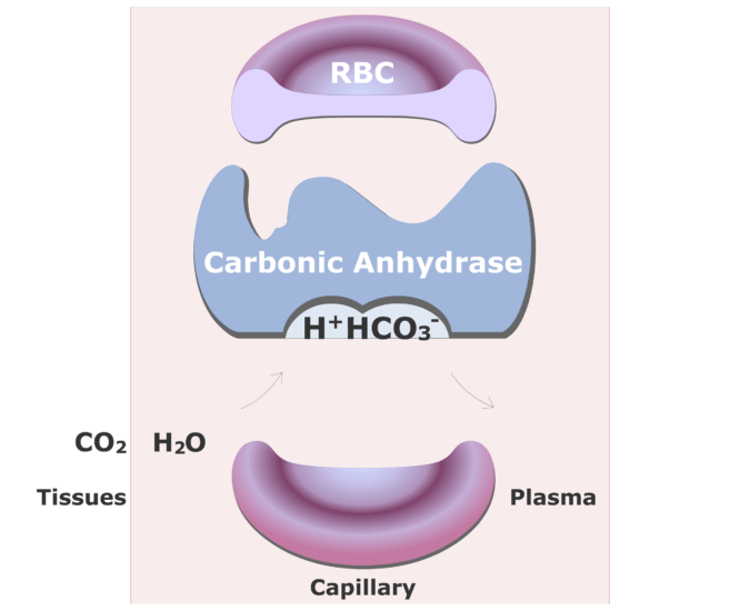 Carbonic anhydrase catalyzing a reaction converting CO2 into HCO3- animation slide 11