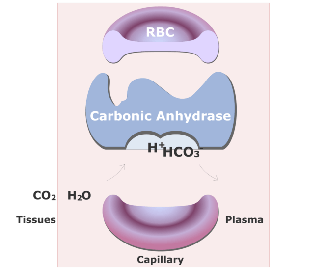 Carbonic anhydrase catalyzing a reaction converting CO2 into HCO3- animation slide 12