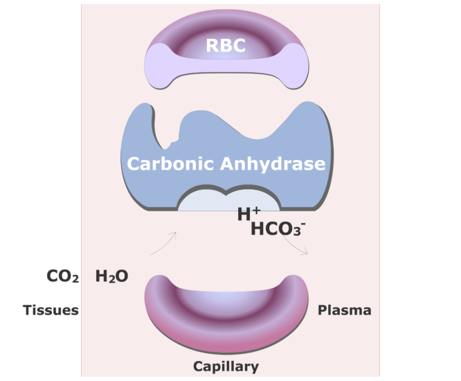 Carbonic anhydrase catalyzing a reaction converting CO2 into HCO3- animation slide 13