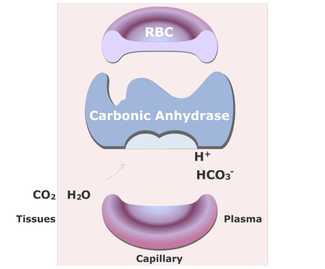 Carbonic anhydrase catalyzing a reaction converting CO2 into HCO3- animation slide 14