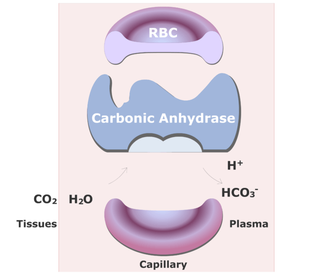 Carbonic anhydrase catalyzing a reaction converting CO2 into HCO3- animation slide 15