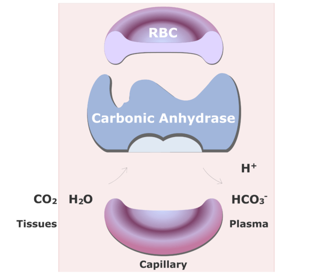 Carbonic anhydrase catalyzing a reaction converting CO2 into HCO3- animation slide 16