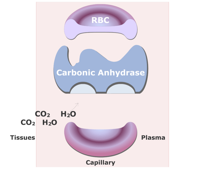 Carbonic anhydrase catalyzing a reaction converting CO2 into HCO3- animation slide 2