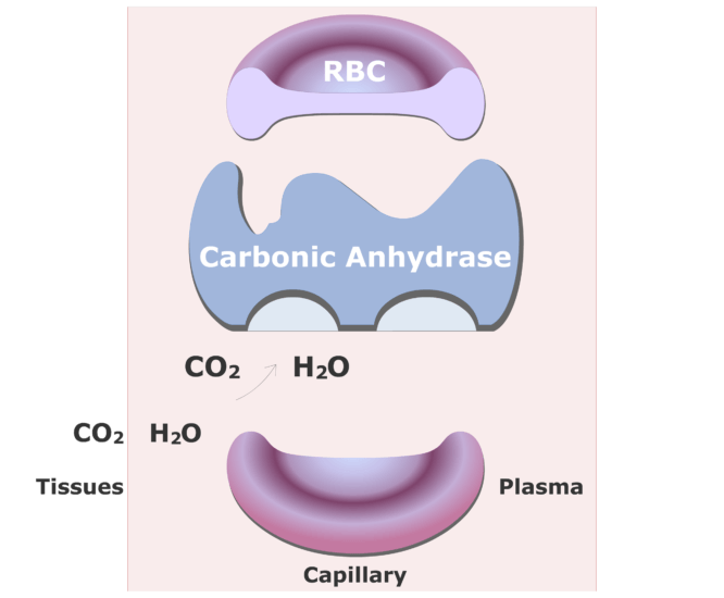 Carbonic anhydrase catalyzing a reaction converting CO2 into HCO3- animation slide 3