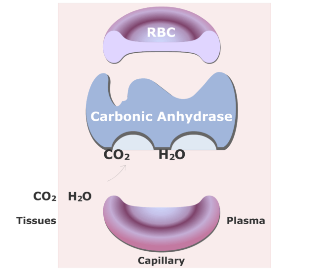 Carbonic anhydrase catalyzing a reaction converting CO2 into HCO3- animation slide 4