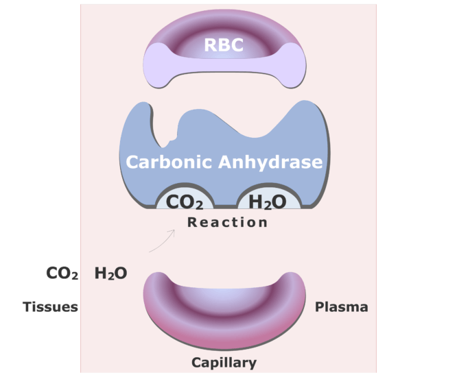 Carbonic anhydrase catalyzing a reaction converting CO2 into HCO3- animation slide 5