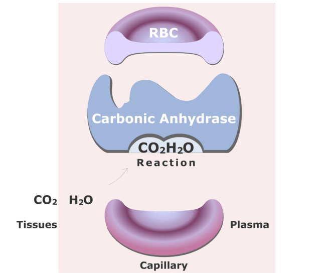 Carbonic anhydrase catalyzing a reaction converting CO2 into HCO3- animation slide 6