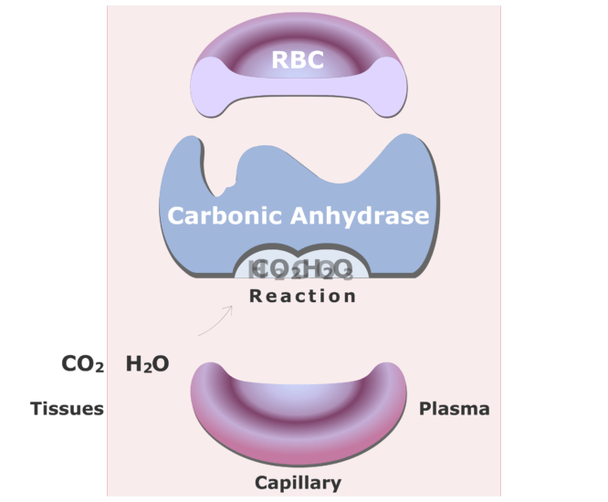 Carbonic anhydrase catalyzing a reaction converting CO2 into HCO3- animation slide 7