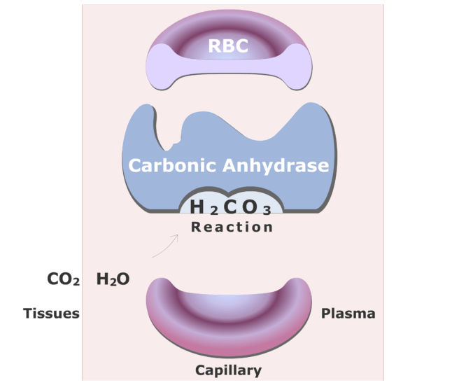 Carbonic anhydrase catalyzing a reaction converting CO2 into HCO3- animation slide 8