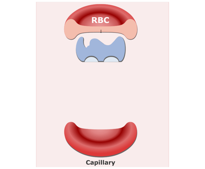 Carbonic anhydrase enzyme in RBCs animation slide 5