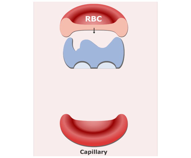 Carbonic anhydrase enzyme in RBCs animation slide 6