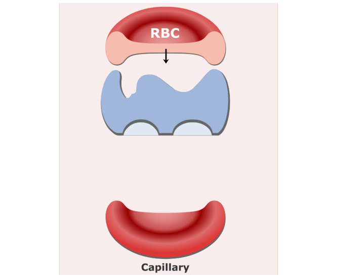 Carbonic anhydrase enzyme in RBCs animation slide 7